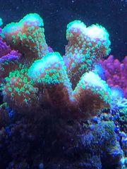 Stylophora Multicolor Ableger Korallen Meerwasser