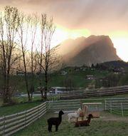 Dünger - Alpaka Mist