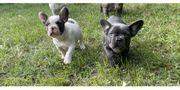 Super schöne französische Bulldogge Welpen