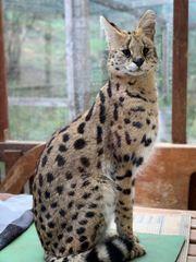 Serval Karakal Bobcat