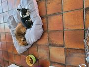 Die zwei Mäuschen Chihuahua suchen