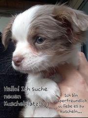 Goldiges reinrassiges Chihuahua Mädchen 11
