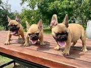 Wunderschöne reinrassige Mini Französische Bulldogge