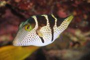 Meerwasser Canthigaster Valentini