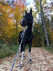 Pferd zum selbstausbilden