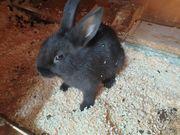 kaninchen ca 10 wochen alt
