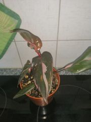 Philodendron Pink Princess Pflanze