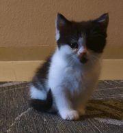 Bkh Perser Kätzchen