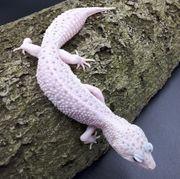 0 1 Leopardgecko W Y