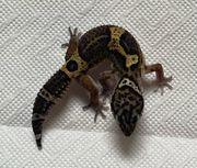 Leopardgecko Pure Black Night Jungs