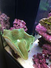 Koralle Elefantenohr
