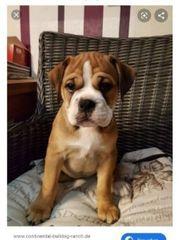 Suche continental bulldog welpen