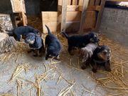 Dobermann-Schäferhund-Labrador-Golden Redriver-Mischlingswelpen