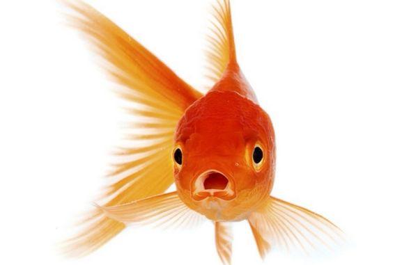 Goldfische Teichfische