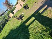 Rottweiler Welpen reinrassige abzugeben 2