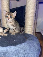 Siam Mix kitten