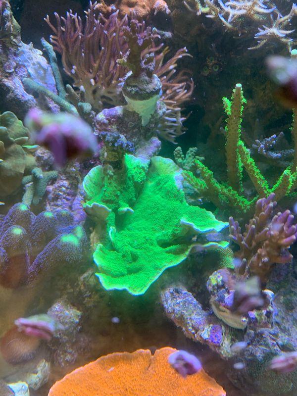 Meerwasser Koralle SPS