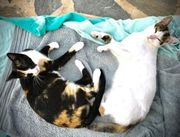 Tilda Pearl verschmustes Katzen-Duo ca