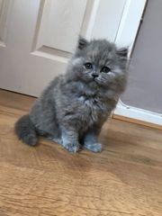 Britisch Kurzhaar Kätzchen zur Adoption