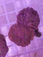 Euphyllia paraancora Doppelkopf