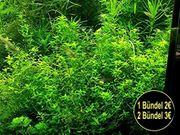 Quirlblättriges Perlenkraut Aquarienpflanzen Versand
