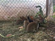 Hasen Kaninchen Schlachthasen