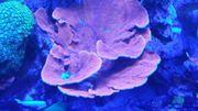 Korallen Meerwasser Zoanthus Clavularia Hystrix