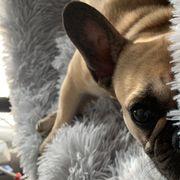 Französische Bulldogge sucht Zuhause