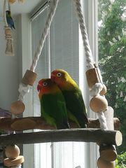 Unzertrennliche Pfirsichköpfen Agarporniden als Paar