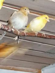 Zwei junge Kanarienvögel abzugeben