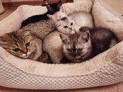 BHK Kitten abzugeben