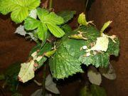 Wandelnde Blätter Phyllium giganteum L3 -