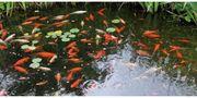 Goldfische von privat