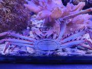 Meerwasser Krabe