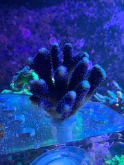 Stylophora Milka Korallen Ableger