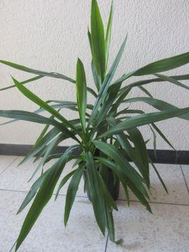 Kaktus Euphorbia trigona Yuccapalme Sukkulente: Kleinanzeigen aus München Schwabing-West - Rubrik Pflanzen