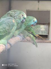 Zuchtpaar Blaustirnamazonen zu verkaufen