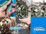 Teichfische Frühjahrspaket - Größe 9-15 cm