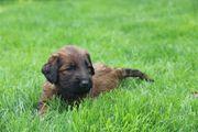Briard Welpen Hund