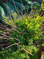Hortensien groß 4 Stück 5