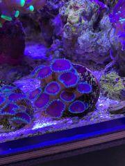 Korallen - Zoanthus Purple Death