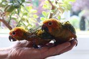 Sonnensittiche Papagei Handaufzucht sehr zahm