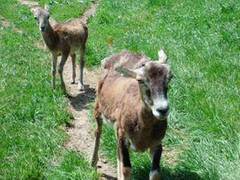Nutztiere - Sika nippon nippon Alpakas und