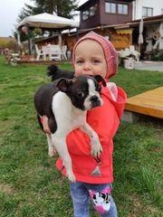 Mini Boston Terrier Welpen m