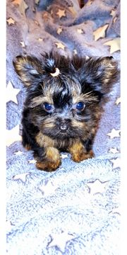 Mini Mini Yorkshire Terrier Chihuahua
