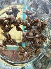 Riesen Turmdeckelschnecken Brotia Herculea Jungtiere