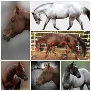 Quarter Horse Hengste Deckhengste
