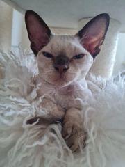 Devon Rex kitten