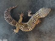 MÄNNCHEN Leopardgecko 2020 Boldstripe Blizzard