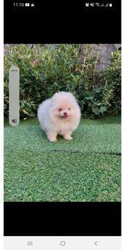 Pomeranian Typ Boo